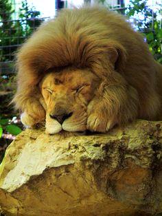 Zoo de Beauval - Lion 21