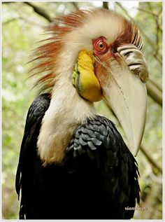 Male Wreathed Hornbill (Rhyticeros undulatus) with gular pouch; the female's pouch is blue. Also known as the Bar-pouched Wreathed Hornbill, this bird is a species of hornbill found in forests from far north-eastern India and Bhutan, east and south through mainland Southeast Asia and the Greater Sundas, except Sulawesi.
