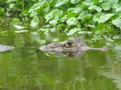 See caiman and cros in Rio San Juan in Nicaragua where the river runs through the Indio Maiz Biological Reserve, one of the most biodiverse regions on the planet. Giant Tortoise, In Patagonia, Central America, Rio, Wildlife, Creatures, Holidays, Travel, San Juan