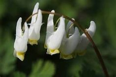 Dutchman's-breeches, a wildflower found in the Smoky Mountains