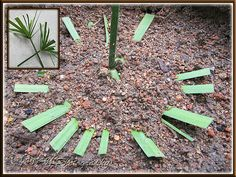 Propagating Cyperus involucratus (Umbrella Plant, Dwarf Papyrus Grass) by inverting tip cutting in potting soil - shot May 17 2010 Plants Grown In Water, Water Plants, Water Garden, Garden Plants, House Plants, Umbrella Plant Care, Vegetative Reproduction, Palm Plant, Replant