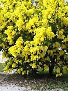 Indian Golden Mimosa Acacia Baileyana Yellow Wattle