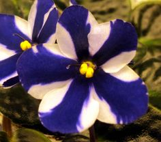 """Chimera African Violet, """"Concord"""" ~"""