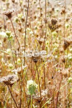 Seed heads Royalty Free Stock Photo