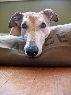 Greyhound...