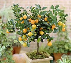mini tangerine plants....   $28.39 from qvc....   stop growing at 3-5 ft. tall