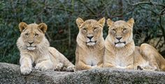 Just 5 months after the death of Cecil the lion, the U.S. is making moves to protect lions all the way in Africa. The U.S. plans to extend its endangered species protection to those big cats, as th…