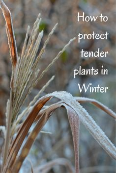 Gardening tips for protecting your tender plants during the Winter months.