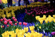 Tulip garden in Skagit Valley Washington [OC] [4200x2800]