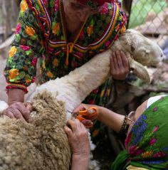 Tonte des moutons en kabylie