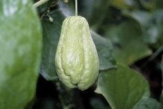 Chayote on tree