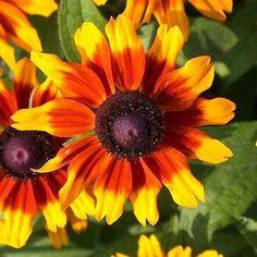 Gloriosa Daisy Sunset Flower Seeds (Rudbeckia Hirta) 200+ Seeds - Under The Sun Seeds   - 2