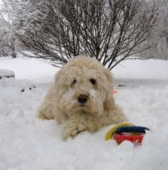 Soft Coated Wheaten Terrier - Brody