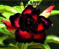 no135-TRIPLE-BLACK-EAGLE Rooted Plants Adenium Obesum Desert Roses Rare Arabicum by adenium plants, http://www.amazon.com/dp/B00AZJYR8W/ref=cm_sw_r_pi_dp_TFqgsb0YVJYJJ