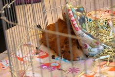 Being overweight for guinea pigs takes a toll on the body and makes them lethargic as well as other risks. Guinea Pig Care, Guinea Pigs, Happy Life, The Happy Life