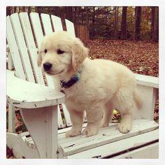 This is the dog I want, but I want it to stay a small puppy Golden Retriever Puppy Little Puppies, Cute Puppies, Cute Dogs, Dogs And Puppies, Doggies, Cute Baby Animals, Animals And Pets, Orange Kittens, Guide Dog