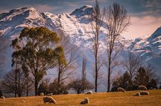 "South Island, New Zealand from Laurence Belcher (@paradise_pictures_nz) on Instagram: ""#sheep #trees #mountains #snow Put them all together and you've got #imagery from our #backyard…"""