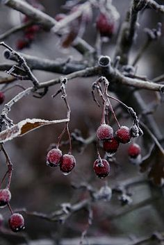 frost on the berries- natural Yule decorations. Courtesy of Mother Nature. #holidaystyle