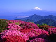 Snow-capped Mount Fuji and flowers.