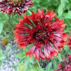 Gaillardia Sundance Red Flower Seeds