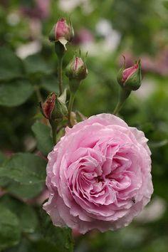 Bourbon Rose: Rosa 'Madame Lauriol de Barney' (France, 1868)