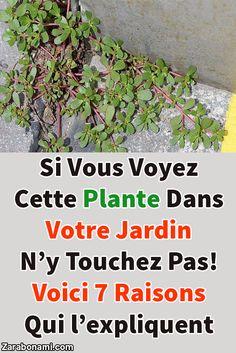 Si vous voyez cette plante dans votre jardin n'y touchez pas! Voici 7 raisons qui l'expliquent Si vous avez cette plante dans votre jardin, ne l'arrachez pas. Le pourpier est une plante très bénéfique pour le corps. Riche en antioxydants et en oméga 3, la conserver chez soi est une très bonne initiative santé. Permaculture, Plantation, Herb Garden, Affirmations, Voici, Herbs, Tips, Plants, Khalid