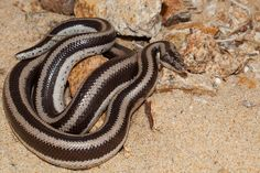 Lichanura trivirgata [Rosy Boa] | Flickr - Photo Sharing!