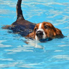 """""""So happy to be swimming again.  As soon as you open the pool gate Freddy runs and take a quick lap around the pool"""