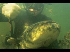 Catching catfish hands! Подводная охота.  Поймать сома руками!