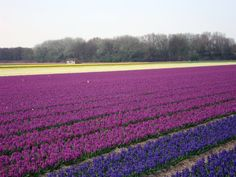 Shades of blue and purple, Netherlands
