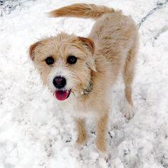 Lost Dog - Schnauzer - Columbus, OH, United States 43228