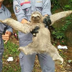 This sloth appears overjoyedafter being rescued while lost in a town. The gangly mammal was picked up by helpful firefighters when it wandered into a hostel in São Sebastião , Brazil.