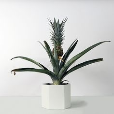 Tropical Spring: Grow a Pineapple