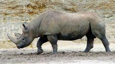 """Día de la Tierra: 7 especies en """"peligro crítico"""" de extinción  Rinoceronte negro. Foto: Archivo"""