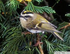 Golden-crowned Kinglet. Has black eye stripe. Both male and female have golden crowns though the male's is more pronounced.