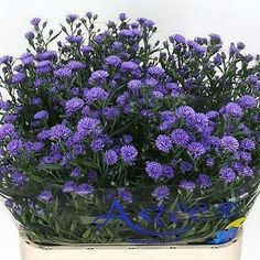 Aster Astee Dark Lilac, otherwise known as September Flower, 2018 Wedding Trend: Ultra Violet Purple. For lilac and purple wedding flowers to suit your colour scheme, visit our website at www.trianglenursery.co.uk/fresh-flowers!