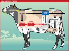Diagram of cow digestion. Cool pic that explains the routes certain nutrients will take. It shows what can be utilized for certain areas such as milk production.