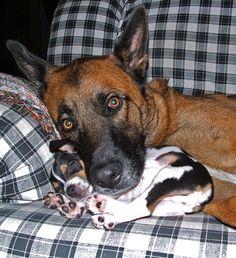 Big Belgian Malinois with puppy Rat Terrier sleeping by klsone, via Flickr - My two favorite breeds
