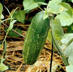 When a cucumber is taken from the vine let it be cut with a knife, leaving about an eighth of an inch of the cucumber on the stem, then slit the stem with the knife from its end to the vine leaving a small portion of the cucumber on each division and on each separate slip there will be a new cucumber as large as the first.