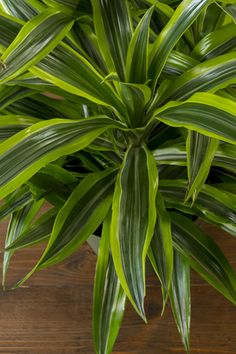 Indoor plants are ready. Fresh From Florida Growing Forward.get growing! Indoor plants are ready. Fresh From Florida Growing Forward. Florida Landscaping, Florida Gardening, Outdoor Landscaping, Outdoor Plants, Outdoor Gardens, Plants Indoor, Pool Plants, Florida Plants, Fruit Plants