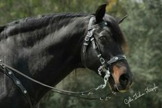 Lusitano Stallions Standing at Stud Buckskin Black Bay Most Beautiful Animals, Beautiful Horses, Portuguese Royal Family, Alter Real, Cave Drawings, Horse Face, All About Horses, Friesian, Horse Breeds