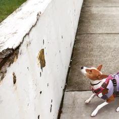 Hi all! Hoppy LEAP year Monday!! #leapyear2016 #hops #basenjijump #monday #dogsofinstagram #adorable #zolapola #seattledogs #ilovebasenjis #seattledog #ig_cutestanimals #simplyseattle #pet #dog  #dogslife #pupnation #king5news #basenji #dogsofinstagram #basenjisofinstagram #spoileddog #petstagram #ruffpost #GMA