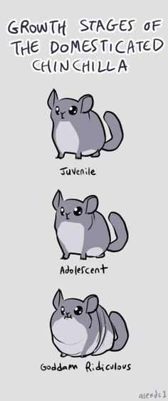 Growth stages of a domesticated Chinchilla