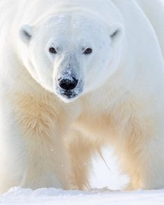 A massive male polar bear from last month in Svalbard. You have some evidence in this image that it's a male :) Guiding for… Bear Photos, Bear Pictures, Animal Pictures, Save The Polar Bears, Bear Watercolor, King In The North, We Bear, Wild Creatures, Take Better Photos
