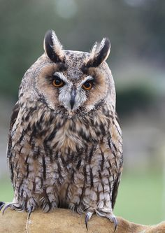 Long Eared Owl By Caitlin loves bubbles