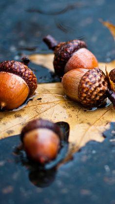 leaves_autumn_acorns