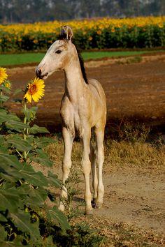 #Marwari #Foal #Horse