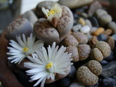 Lithops is a genus of succulent plants in the ice plant family, Aizoaceae.