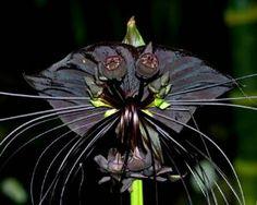 Schwarze Fledermausblume