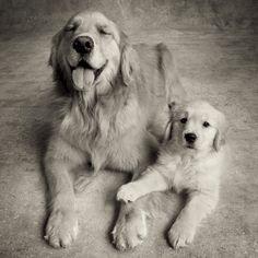 Golden Retriever Mum  pup
